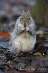 Chewing on peanuts. (Barry Miller _ Bazz) Tags: squirrel canon 5d mark3 300mm f4l lens wildlife widnes victoria park grey