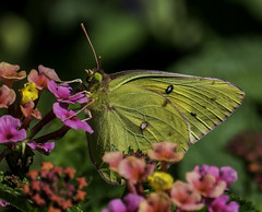 Butterfly_SAF2810-2 (sara97) Tags: butterfly flyinginsect insect missouri nature outdoors photobysaraannefinke pollinator saintlouis copyright2016saraannefinke