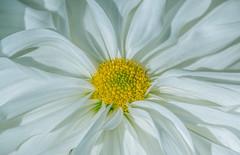 Ichimonji (12bluros) Tags: kiku white chrysanthemum ichimonji flower floral flora canonef100mmf28lmacroisusm nybg
