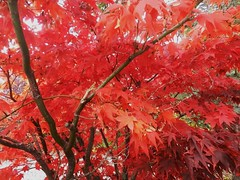 Autumn Colours, Nethy Bridge, Speyside, Oct 2016 (allanmaciver) Tags: red strong amazing colour bright warm tree autumn leaves nethy bridge speyside scotland allanmaciver
