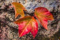 HSS - Autumn leafs to the may (J.Weyerhäuser) Tags: mainz rhein stadt zaun rathaus slidersunday hss photoshop filter