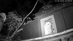 11.28.2016_1808_Jasper Back ? (Birder23) Tags: didi jasper rat owlets barnowltreehouseporch rain