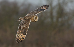 Short-eared Owl (KHR Images) Tags: shortearedowl short eared owl seo asioflammeus wild bird birdofprey inflight flying hunting closeup cambridgeshire eastanglia fens fenland wildlife nature nikon d7100 300f4 kevinrobson khrimages