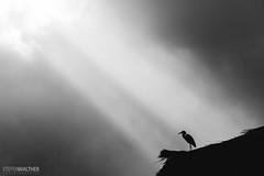 Hero(n) (Steffen Walther) Tags: japan reise steffenwalther travel animal bw blackandwhite heron grey rooftop roof rays sunlight light enlight clouds contrast sky spot shirakawago village historic fineart canon5dmarkiii canon702004lis asia reisefotolust silhouette
