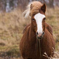 Icelandic horse (Jesper Krogh, DK) Tags: hest horse portrait islandichorse horseportrait portrt islnder egengs