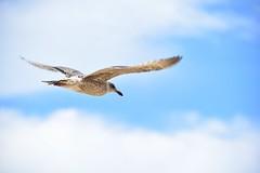freedom (Pics4life.nl) Tags: seagull zeemeeuw vrijheid freedom sky lucht wolken vogel clouds serene day autumn gaivota liberdade freiheit möwe gaviota libertad frihet mås