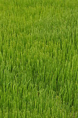 Sea Grass Close-up 1 (Amaury Laporte) Tags: capecod massachusetts northamerica usa unitedstates seashore coast