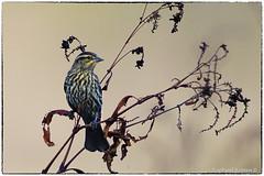 Redwing Blackbird (female) (RKop) Tags: a77mk2 600mmf4apogminolta armlederpark cincinnati ohio raphaelkopanphotography sony