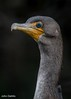 Cormorant portrait! (flintframer) Tags: cormorant portrait florida wildlife nature canon eos 7d mark ii ef100400