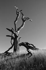 Them Bones (nedlugr) Tags: california ca tree treetrunk weeds bw blackandwhite shadows wildoats santabarbaracounty