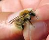 Bombus humilis faded male - Broadhaven Dunes, Pembrokeshire 2016 (Steven Falk) Tags: bombus humilis brownbanded carder bee apidae steven falk