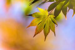 Maple Magic ~ (PhillymanPete) Tags: autumn green color tree nature mapleleaf momiji leaf acerpalmatum japanesemaple macro fall bokeh texture philadelphia pennsylvania unitedstates us nikon d7200 glenfoerd