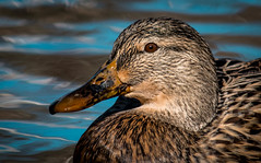 Your brown eyes awakened my heart... (knoxnc) Tags: depthoffield bokeh duck bluereflection nikon waterfowl outdoor browneyes nature refection waterdroplets sunlight lake fall d7200 brownfeathers