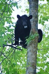 Black bear eye-contact (stevelamb007) Tags: blackbear bear tennessee greatsmokymountainsnationalpark gatlinburg stevelamb nikon d7200 nikkor18200mm nature wildlife eyecontact
