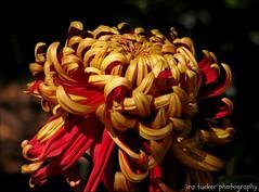 So often in life a new chapter awaits. You ride off into the sunset.... (itucker, thanks for 2.6+ million views!) Tags: dukegardens bokeh hss chrysanthemun mum crimsontide macro
