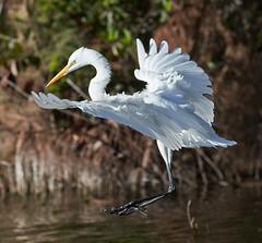 Nov 30 201627425 (Lake Worth) Tags: animal animals bird birds birdwatcher everglades southflorida feathers florida nature outdoor outdoors waterbirds wetlands wildlife wings canoneos1dxmarkii canonef500mmf4lisiiusm