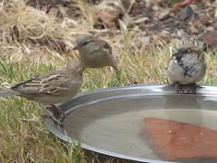 And who are you? (prondis_in_kenya) Tags: kenya nairobi shortrains bird birdbath sparrow garden water drought splash drink