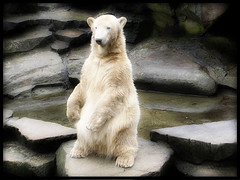 Happy Birthday in Heaven beloved KNUT 2006-2011 (BrigitteE1) Tags: knut eisbr polarbear zooberlin deutschland 20062011 specanimal