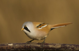 Bearded Reedling (Tit)