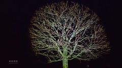 Hasel - Nacht-Taschenlampe (warata) Tags: 2016 deutschland germany sddeutschland southerngermany schwaben swabia oberschwabenupperswabia schwbischesoberland badenwrttemberg gemeinehasel corylusavellana haselstrauch haselnussstrauch baum baumkrone herbst autumn