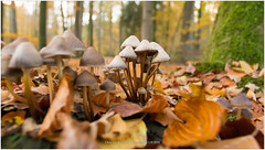 Mushrooms, Netherlands (CvK Photography) Tags: autumn autumncolors canon closeups color cvk estate europe fall forest mushroom nature netherlands outdoor overijssel singraven twente beuningen nederland nl