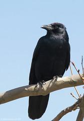 Perching crow (v4vodka) Tags: bird birding birdwatching animal nature wildlife crow americancrow corvid corvusbrachyrhynchos wrona wronaamerykanska longisland newyork