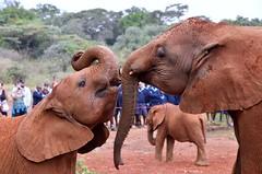 Kiss between orphans at the David Sheldrick Wildlife Trust - Nairobi, Kenya. (One more shot Rog) Tags: sheldrick davidsheldrick davidsheldrickwildlife daphne sheldrickelephantsinfantsorphanagelovetogethernesstogethersafarinaturecaredavid elephant orphanage trunks tusks nairobi kenya africa