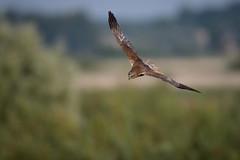 Marsh Harrier on the hunt (skees499 ) Tags: circus aeruginosus bruinekiekendief d500 kinderdijk zh nikon