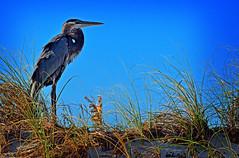 HERON ON THE DUNES (Wolf Creek Carl) Tags: birds wildlife heron dune blueheron animal beach shore wadingbirds nature outdoors florida