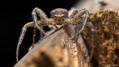 Crab Spider (Christos Zoumides) Tags: eumetazoa arthropoda chelicerata arachnida micrura megoperculata araneae opisthothelae araneomorphae labidognatha thomisidae europe southeurope mediterranean cyprus nicosia alona troodos troodosmountains spider crabspider gurad portrait darkforces web nikon nikond750 venus venusmacro venusmacrooptics venus60mmf28ultramacrolens venus60mm venus60mmf28ultramacro venus60mmf2821ultramacro venus60mmf2821macromacro macrosdenaturaleza macroexploration macrodreams macrophotography closeup nationalgeographicwildlife ngc nature outdoor animal field depthoffield