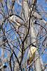 Black-crowned night herons (All-seeing Cuttlefish) Tags: toronto birds gimp quark blackcrownednightheron nycticoraxnycticorax nightheron lesliespit tommythompsonpark nightraven hoactli vivitar400mmf56 darktable