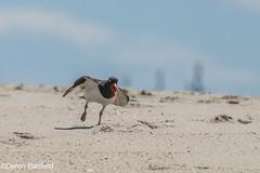OC -1-4 (bearemt) Tags: bird beach birds wildlife sandy nj american oystercatcher hook