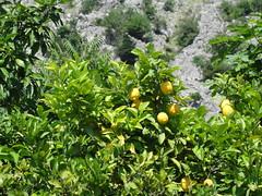Lemon tree - Kotor, Montenegro (mikestuartwood) Tags: tree leaves yellow fruit leaf lemon europe european grow lemons citrus growing montenegro kotor montenegrin