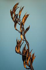 20140530_1219_1D3-400 Flax seed head (johnstewartnz) Tags: canon eos 400 flax newbrighton 400mm 1dmarkiii 1d3 1dmark3