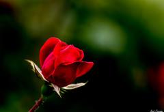 Disney Rose (Kent Freeman) Tags: california rose pentax disney 300mm adventure da k5