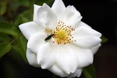 3 (NoLaCoCotte) Tags: france fleur rose canon savoie insecte rhonealpes