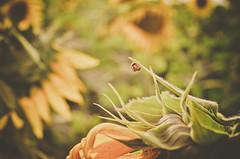 Sutileza da natureza (Jackeline Marassi) Tags: macro 50mm ladybug joaninha girassol nikond5100