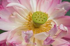 Anatomy of a Lotus Flower (Ben-ah) Tags: ny flower garden lotus stamen nybg newyorkbotanical