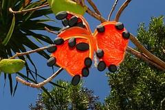 Queensland peanut tree pods open and nuts ready Sterculia quadrifida Airlie Beach P1110496 (Steve & Alison1) Tags: malvaceae peanuttree sterculia arfp sterculiaquadrifida nswrfp qrfp ntrfp warfp arffs redfruitedkurrajong blackarffs redarffs monsoonarf dryarf vinethicketarf cyrfp sdtropicalarf