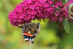 Closed Red Admiral On Buddleia (Now flying with the angels xx) Tags: topshots natureplus photosandcalendar natureselegantshots panoramafotogrfico thebestofmimamorsgroups coth5 theoriginalgoldseal