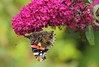 Closed Red Admiral On Buddleia (Now flying with the angels xx) Tags: topshots natureplus photosandcalendar natureselegantshots panoramafotográfico thebestofmimamorsgroups coth5 theoriginalgoldseal