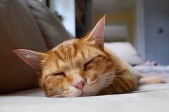 (Joel Rhymer) Tags: cat nap afternoon fuji catnap lazy housecat tigercat lazyafternoon fujixe2