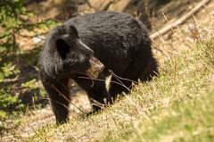 Black bear (coneslayer) Tags: canada animals bears alberta mammals blackbear banffnationalpark ursusamericanus ursidae americanblackbear smcpda300mmf4edifsdm