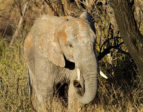 Elephant , sub adult , nice water colours_1454
