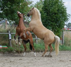 Sonny & Nick (bunkertouren) Tags: horses horse platz nick pony lustig sonny pferde pferd spass palomino reitplatz buckeln sonnytexbar pferdsitzt pferdsteigt pferdesteigen