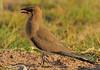 Collared Pratincole (Rainbirder) Tags: kenya amboseli collaredpratincole glareolapratincola rainbirder
