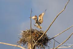 Osprey landing near the Madison River