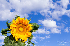Bright yellow sunflowers beneath a blue Colorado sky