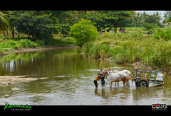 AFTER A DAY'S WORK (GOPAN G. NAIR [ GOPS Creativ ]) Tags: life india rural photography village bullock bull farmer cart karnataka mysore gops gopsorg gopangnair gopsphotography