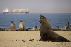2014 Namibia (Susan Greeff) Tags: southafrica wildlife seal namibia fineartphotography walvisbay travelphotography landscapephotography pelicanpoint wildlifephotography creativephotography barrydale susangreeff